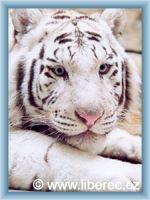 Liberec - Bílí tygr v ZOO Liberec