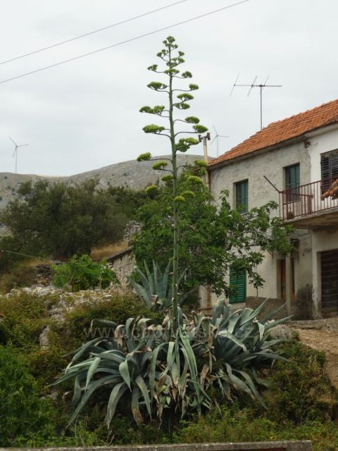 Stará Grebaštica a kvetoucí kaktus