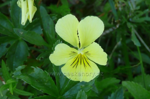 Jesenická flóra -violka žlutá sudetská,silně ohrožený druh v ČR