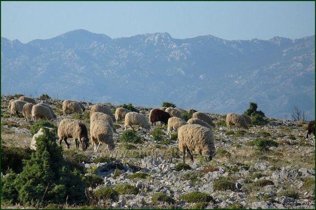 Ovečky na ostrově Začevo
