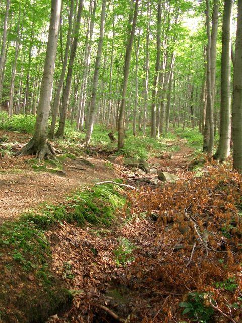 vyhlídka Vysoký kámen  u Horních Hoštic- cesta bukovým lesem nad hájenkou