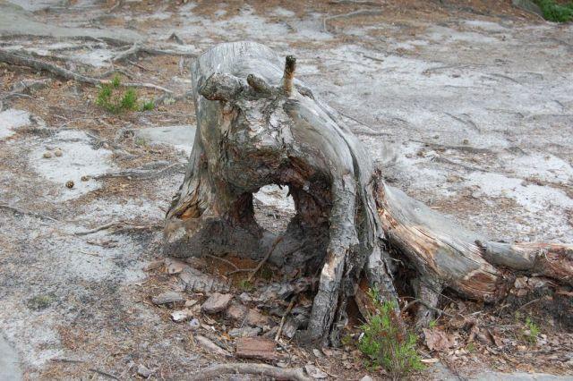 Pařez v klokočských skalách