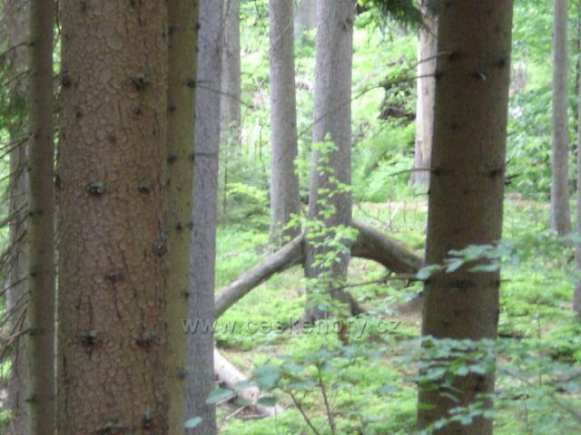 Boubínský prales-chodící strom