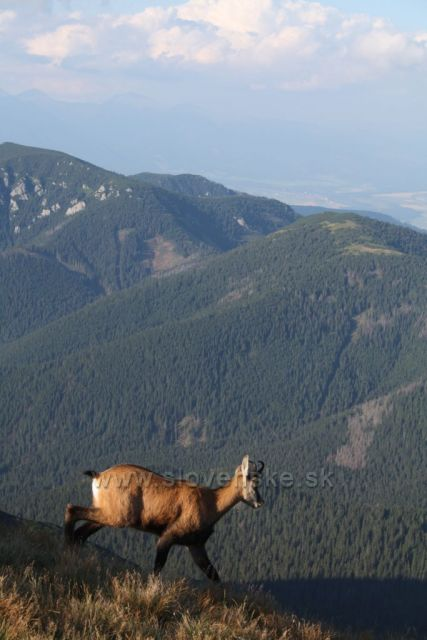 Nízké Tatry a kamzík