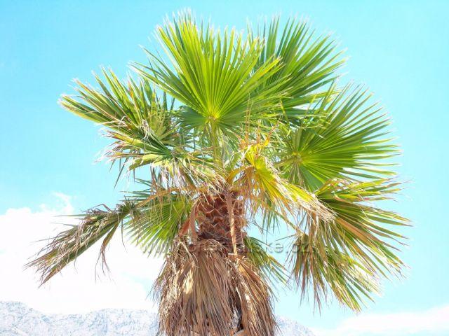 Tučepi-palma
