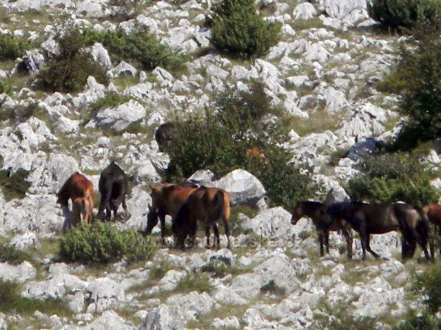 Divocí koně na Velebitu