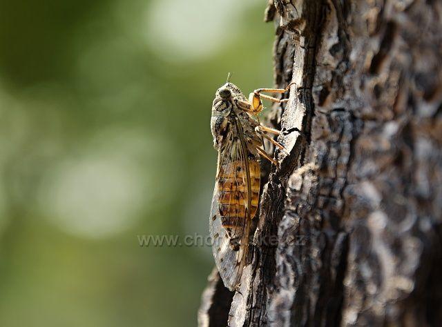 Všudypřítomné cikády