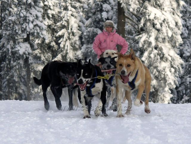 mushing s AlaskanDogs.cz