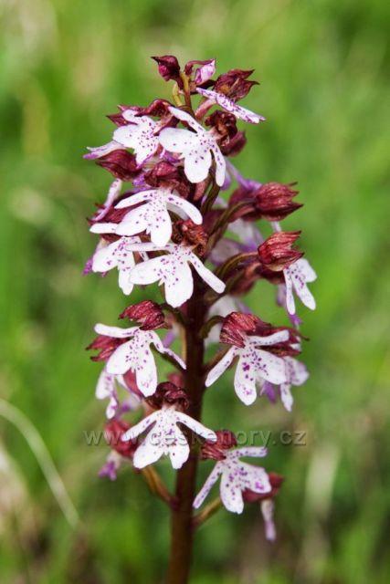 Orchideje Českého Středohoří II