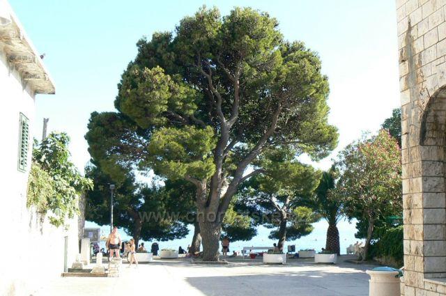 Strom u obchodu Studenac,Drvenik