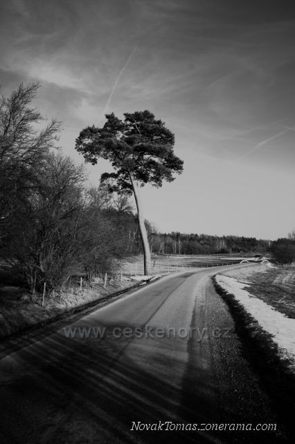 Památná borovice u Mařenic