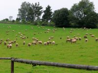 Ovce na podvečerní pastvě u Horní Vltavice