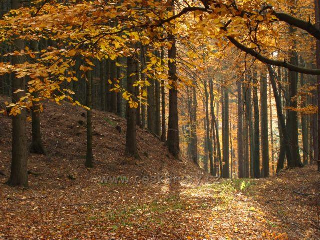 Bukový les pod Honským Špičákem (Broumovské stěny)