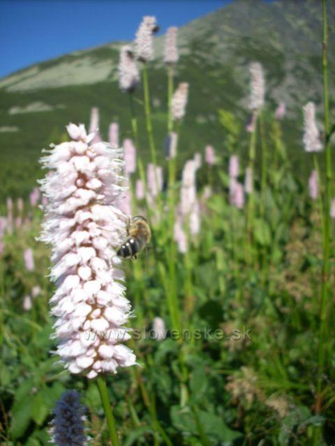 horsky kvet