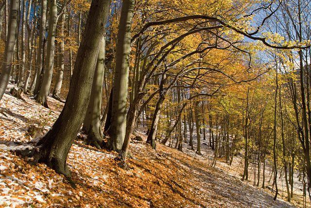 Bukový les pod Rýzmburkem