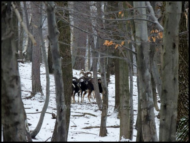 Mufloni v oboře Červený Hrádek.