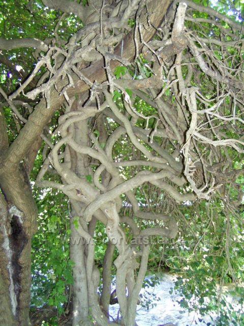 NP Krka - zapletený strom