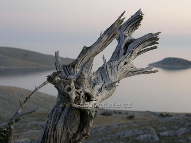 Kornati - pahýl stromu