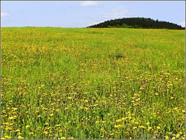 Pampeliškové pole