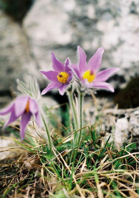 Dreveník a jeho kvety