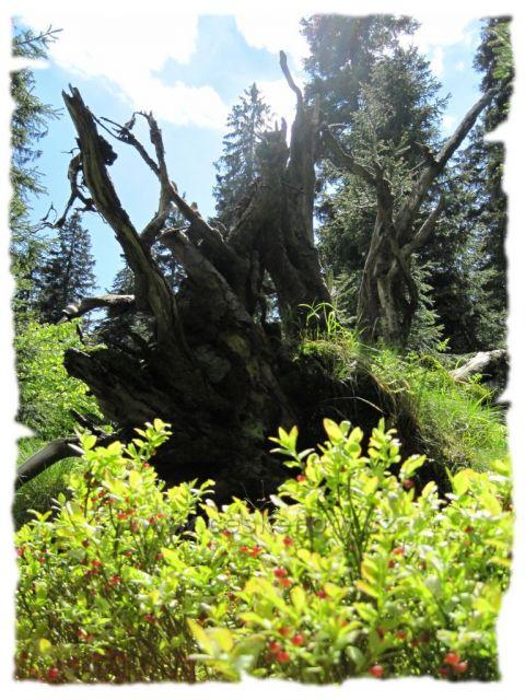 Bukačka - prales