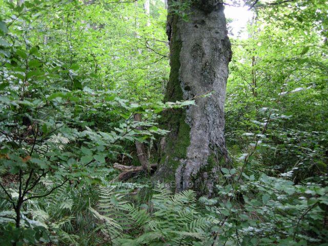 cesta Rýchorským pralesem