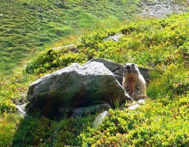 svišť horský