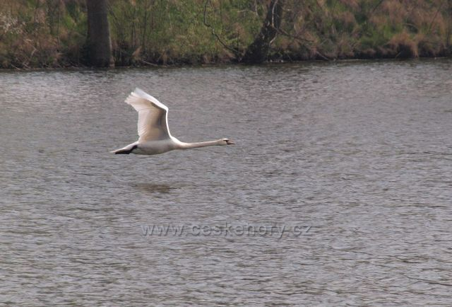 Let labutě