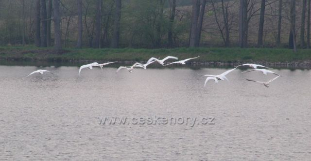 Labutě na Havlovických rybnících