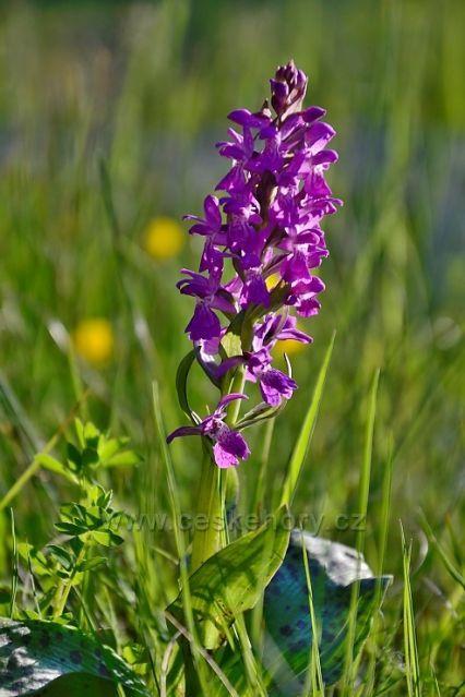 Prstnatec májový - chráněná rostlina, na kterou jsem narazil na břehu Josefodolské přehrady.