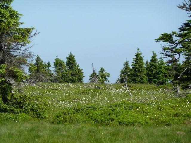 Suchopýr kolem hřebenovky na Jelení hřbet