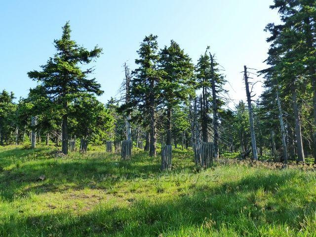 Ochrana vysazených stromků podél cesty k Vřesové studánce