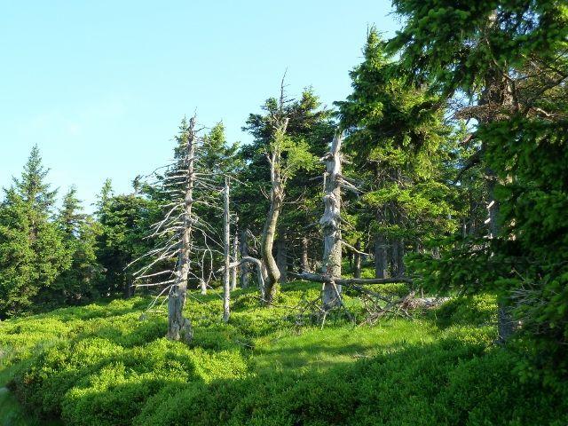 Cestu k vřesové studánce lemují i takováto torza horských smrků