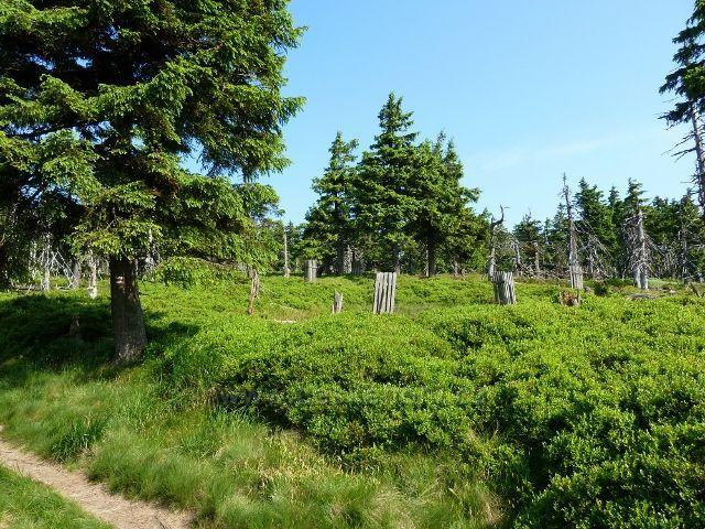 Nvě vysazené stromky kolem cesty k Trojmezí je třeba ochránit před zvěří