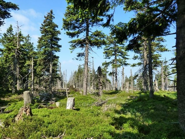 Lesní porost kolem roscesti na Trojmezí