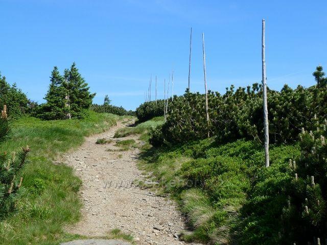 Závěrečná část trasy výstupu na Keprník vede pásmem kleče