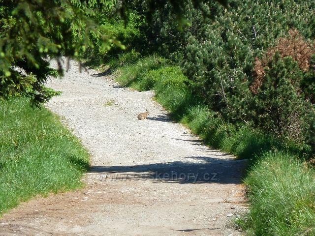 """Rarita!!! Zajíc na cestě před sedlem """"Pod Keprníkem"""" ve výšce cca 1290 metrů"""