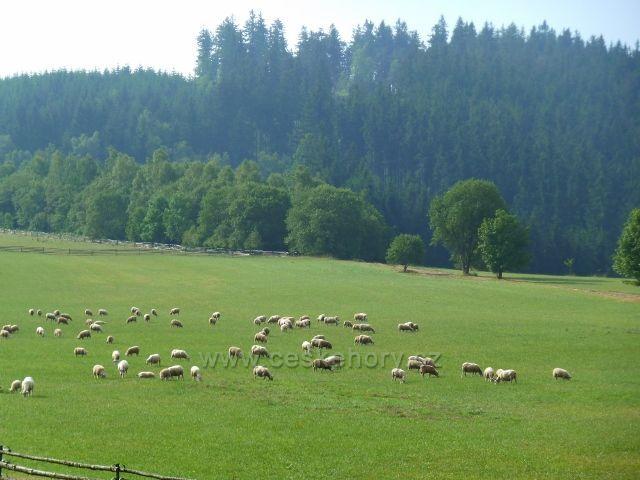 Pastva ovcí pod Křížovou horou