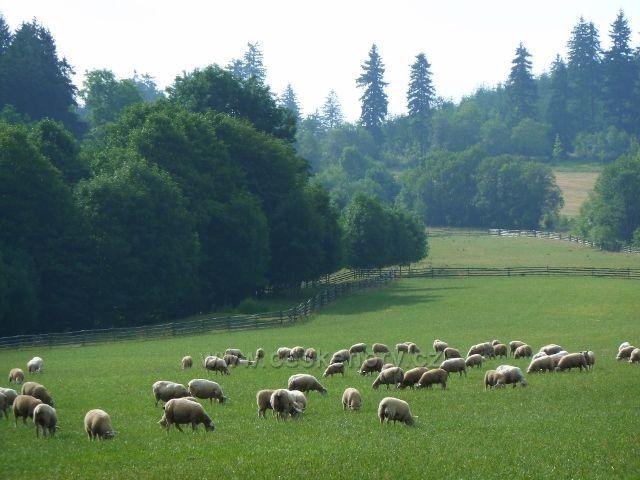 Ovce na pastvině pod Křížovou horou