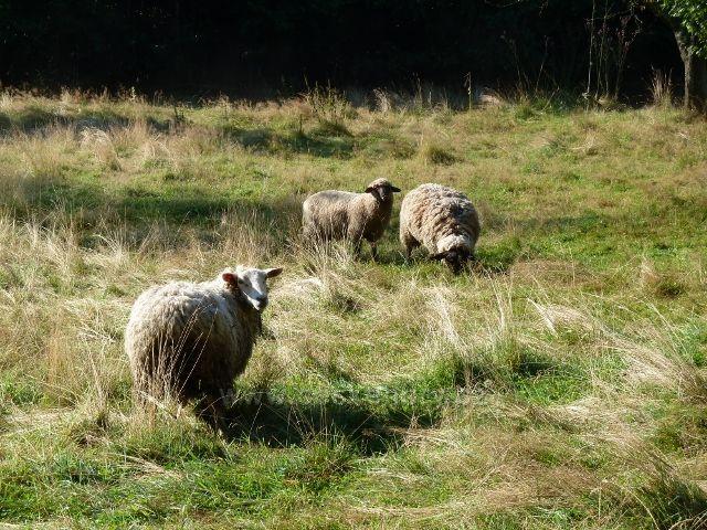 Adolfovice-Mlýnky - ovce v údolí Javořického potoka