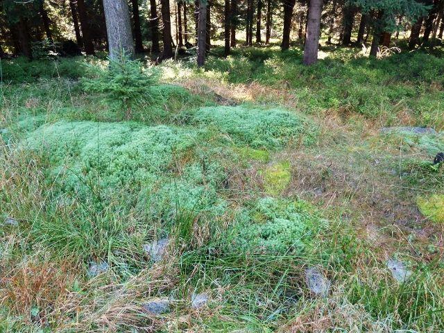 Porost rašeliníku u Bunkrovky před Pěticestím