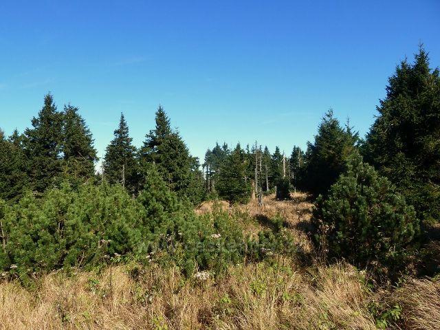 Lesní porost na vrcholu Koruny