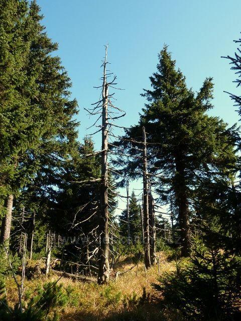 Lesní porost na úbočí Koruny