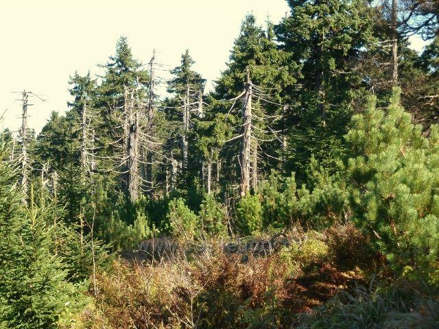 Lesní porost na úpatí Koruny