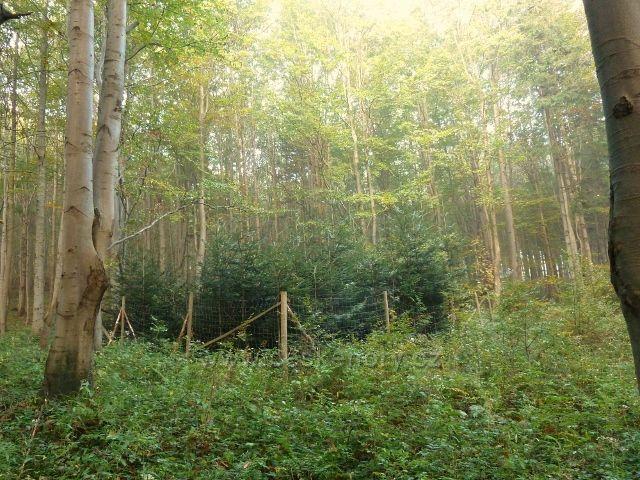 Horní Lipová - ochrana jedlové kultury v bukovém porostu proti zvěři