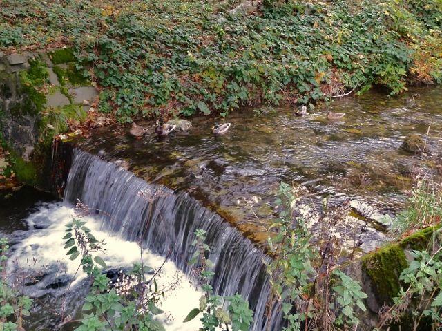 Horní Lipová - divoké kachny na potoce Staříč