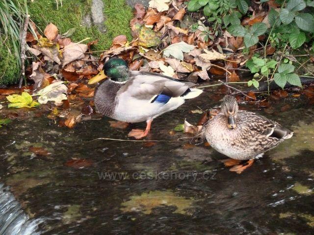 Horní Lipová - divoké kachny na říčce Staříč