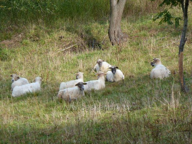 Petrovičky - ovce na pastvině na úbočí Adamu
