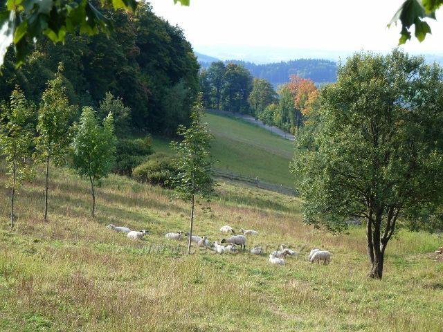 Petrovičky - ovce na pastvině pod Adamem