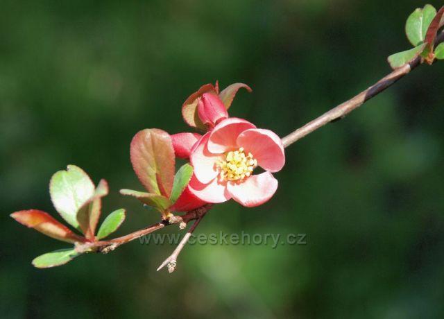 Kvetoucí kdouloň